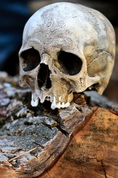 Skull Reference, Body Reference Drawing, Sugar Skull Decor, Sugar Skull Art, Real Human Skull, Underwater Sculpture, Vampire Skull, Skull Model, Totenkopf Tattoos
