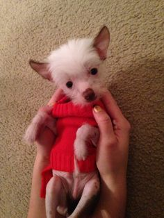 My new baby Chinese Crested puppy !