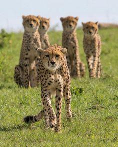 . Photography by © (Tim Allen). Cheetah !! Malaika and her cubs, Masai Mara. #wildlife #MasaiMara #Cheetah