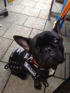 Odin - member of the Sons of Frenchies https://www.facebook.com/pages/Odin-der-Frenchie/771454122942409