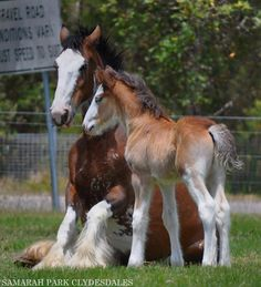 Clydesdale mare and foal clydesdale тяжеловозы, лошади, живо Big Horses, Horses And Dogs, Pretty Horses, Horse Love, Black Horses, Cute Funny Animals, Cute Baby Animals, Animals And Pets, Most Beautiful Animals