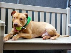 TO BE DESTROYED - 05/19/14Manhattan Center -PMy name is KNEESAA. My Animal ID # is A0998539.I am a male tan and white pit bull mix. The shelter thinks I am about 2 YEARS I came in the shelter as a STRAY on 05/02/2014 from NY 10454, owner surrender reason stated was STRAY. MOST RECENT MEDICAL INFORMATION AND WEIGHT05/17/2014 Exam Type RE-EXAM - Medical Rating is 3 C - MAJOR CONDITIONS , Behavior Rating is EXPNOCHILD, Weight 67.0 LBS.BARH EENT- SND, coughing Int- nsf MS- nsf A: kennel cough P…