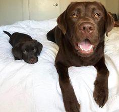 Labrador Retriever Chocolate, Chocolate Lab Puppies, Black Labrador Retriever, Labrador Retrievers, Chocolate Labs, Chocolate Labradors, Labrador Dogs, Golden Labrador, Retriever Puppies