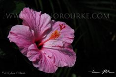 Shadowy Pink Hibiscus | Hawaii Pictures of the Day