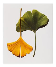 View Gingko Leaves New York by Irving Penn on artnet. Browse more artworks Irving Penn from Feldschuh Gallery. Leave In, Blatt Tattoos, Maidenhair Tree, Fashion Fotografie, Chinese Herbs, Chinese Medicine, Arte Floral, Leaf Art, Still Life Photography