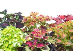 Keep your potted perennials alive to live to bloom another day. Winter care for potted perennials.