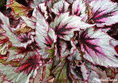 Begonia - Begonia rex