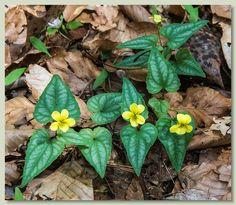 Halberd-Leaf Yellow Violet - Viola hastata