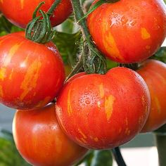 TOMATO TIGARELLA :: HEIRLOOM :: 80 seeds via Green Seed Tasmania. Click on the image to see more!