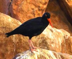 The African Black Oystercatcher is an endangered bird but can still be found in Pringel Bay and its surrounding area. Beautiful Birds, Flora, African, Animals, Life, Black, Animales, Animaux, Black People
