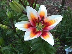 reference: beautiful asiatic lily