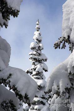 Pine Framed in Powder by Brett Pelletier I Love Winter, Winter Is Here, Winter Day, Winter Scenery, Winter Trees, Beautiful Scenery, Beautiful Places, Winter Magic, Snow Scenes