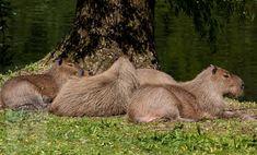 Capybara, Brown Bear, Animals, Animales, Animaux, Animal, Animais