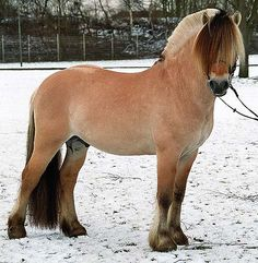 """The most common colour is """"brown dun"""" (brunblakk) (bay + dun). The body colour is a pale yellow-brown, and can vary from cream to almost a light chestnut. The primitive markings, as well as the midtstol and halefjær, are black or dark brown. The remainder of the mane and tail is usually cream or white, though may be a darker on darker individuals. The colour is genetically bay diluted by the dun factor, called """"dun"""", """"bay dun"""" or """"zebra dun"""" in other breeds. Img: Loverly brunblakk"""