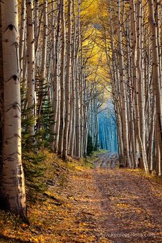Aspen-lined tunnel of trees from 50 Mind-Blowing Examples of Landscape Photography   Bored Panda