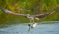 Great catch: The osprey takes off with two fish in its claws after a successful dive in a Finnish lake