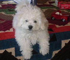 A Bichon Frise puppy