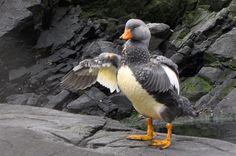 Tierra del Fuego: Steamer Duck | Flickr - Photo Sharing!