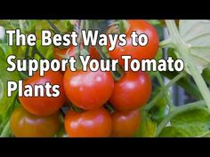 ▶ Tomato Cages: How to Make Supports for Healthier Tomato Plants - YouTube