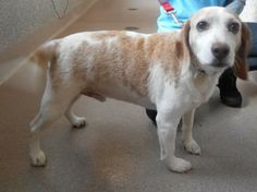 #PENNSYLVANIA #URGENT ~ Champ is a Neutered 8yo Lemon Beagle dog in need of a loving adopter / rescue at CUMBERLAND VALLEY ANIMAL SHELTER 5051 Letterkenny Rd W  Chambersburg PA 17202 cvasmgr@cvas-pets.org Ph 717-263-5791