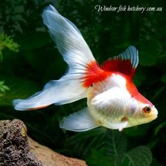 windsor fish hatchery is unique in that we sell the koi and goldfish we breed online and ship the fish to your home or business via couriers with a live arrival guarantee All Fish, Live Fish, Goldfish For Sale, Goldfish Tank, Fish Hatchery, Dead Fish, Stock Tank, Beautiful Creatures, Windsor