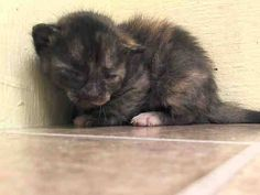 TO BE DESTROYED 5/19/14 ** BABY ALERT! THIS IS ITZEL'S BABY, ISI, WHO IS ONLY 3 WKS OLD. PLEASE HELP SAVE THIS LITTLE ONE- FOSTER, ADOPT OR PLEDGE FOR RESCUE NOW!! * Manhattan Center  My name is ISI. My Animal ID # is A0999812. I am a female tortie domestic sh mix. The shelter thinks I am about 3 WEEKS old.  I came in the shelter as a STRAY on 05/14/2014 from NY 10456. I came in with Group/Litter #K14-177385.