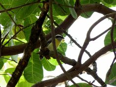 Foto cambacica (Coereba flaveola) por Evaldo Nascimento | Wiki Aves - A Enciclopédia das Aves do Brasil