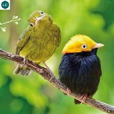 https://www.facebook.com/WonderBirdSpecies/ Golden-headed manakin (Ceratopipra erythrocephala); Central and South America; IUCN Red List of Threatened Species 3.1 : Least Concern (LC)(Loài ít quan tâm) || Manakin đầu vàng; Trung và Nam Mỹ; HỌ MANAKIN - PIPRIDAE (Manakins).