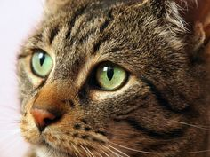 """What could watery eye discharge mean? Photo: <a href=""""http://www.shutterstock.com/pic.mhtml?id=114854377"""" target=""""_blank"""">Cat eye</a> by Shutterstock"""