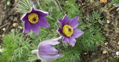Anemone pulsatille Pulsatille-commune-Pulsatilla-vulgaris-Anemone-pulsatilla-Pasque-flower