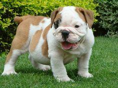 bulldog ingles - Pesquisa Google