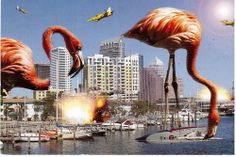 When Flamingoes Go Bad - Card from Tampa, Florida, sent by Postcrosser in Chicago.