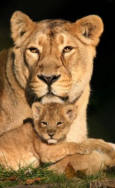 No greater bond than that between a lioness and her cub