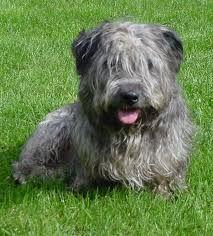 Glenn of Imal terrier
