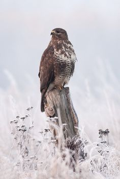emuwren:  The Common Buzzard - Buteo buteo, is a medium to large bird of prey, whose range covers most of Europe and extends into Asia.