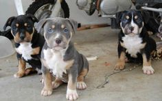 tri colored Pit Bull Puppies BEAUTIFUL!