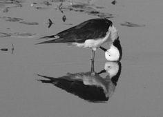 Stilt Black-winged