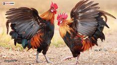 Cách nuôi gà đá tơ đúng cách để gà sung sức và gan lỳ không phải ai cũng biết. Vậy bí quyết cách nuôi gà chọi chiến mau sung vào chiến trường? Cùng tìm hiểu những bí quyết đút túi của các sư kê ngay dưới bài viết dưới đây nhé! #cách_nuôi_gà_đá_tơ Rooster Images, Rooster Art, Red Rooster, Rooster Tattoo, Rooster Breeds, Cut Out Pictures, Mexican Paintings, Game Fowl, Raising Backyard Chickens