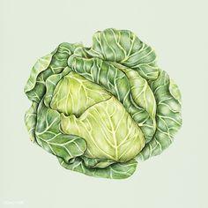 Hand drawn watercolor of cabbage Botanical Art, Botanical Illustration, Cabbage Vegetable, Vegetable Drawing, Image Fruit, Veggie Art, Pencil Drawings Of Flowers, Vegetable Illustration, Veggies