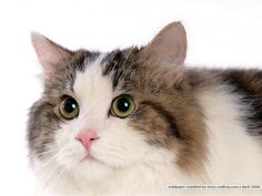 Google Image Result for http://www.wallcoo.net/animal/Persian_Cat/images/%255Bwallcoo_com%255D_Persian_Cat_picture_80589.jpg