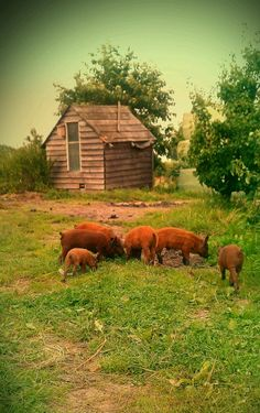 Pigs grazing on the farm