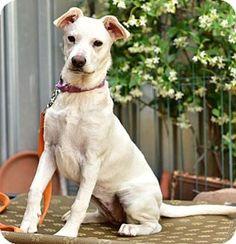 Marina Del Ray, CA - Shiba Inu/German Shepherd Dog Mix. Meet LEIA -Video to view, a puppy for adoption. http://www.adoptapet.com/pet/15885799-marina-del-ray-california-shiba-inu-mix