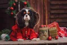 Dressy Christmas cavalier puppy - cute cavalier king charles spaniel dog in red coat at cozy wooden country house with gifts