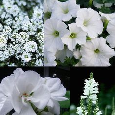 All White: allysum, supertunia, geranium, obedient plant (ha!)...also consider calibrachoa & angelica
