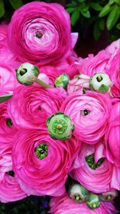Rose Like Flowers, Nothing But Flowers, Flowers For Sale, Burgundy Flowers, Types Of Flowers, Flowers Nature, Beautiful Flowers, Ranunculus Wedding Bouquet, Ranunculus Flowers