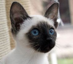 There's a darn good reason for this precious Siamese kitty to be here.