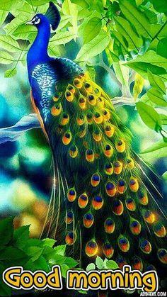 New Good Morning Images Beautiful Creatures Animals Cute Peacock Bird