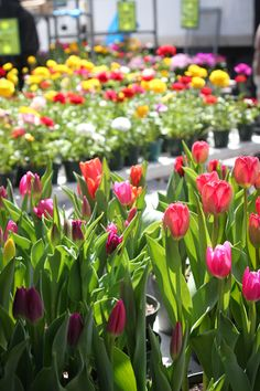 tulips #flowers #tulips