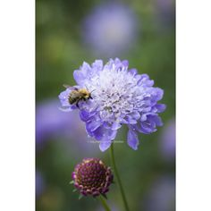 Another butterfly-beloved scabious in a beautiful blue-mauve.