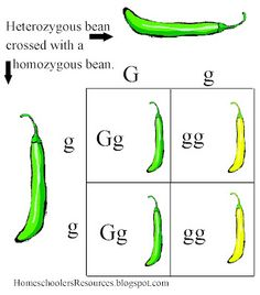 This is a FREE 200 Slide PowerPoint Quiz Game about Mendelian ...